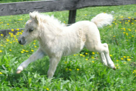 want to get this miniature horse fitted with a saddle and put a baby ...