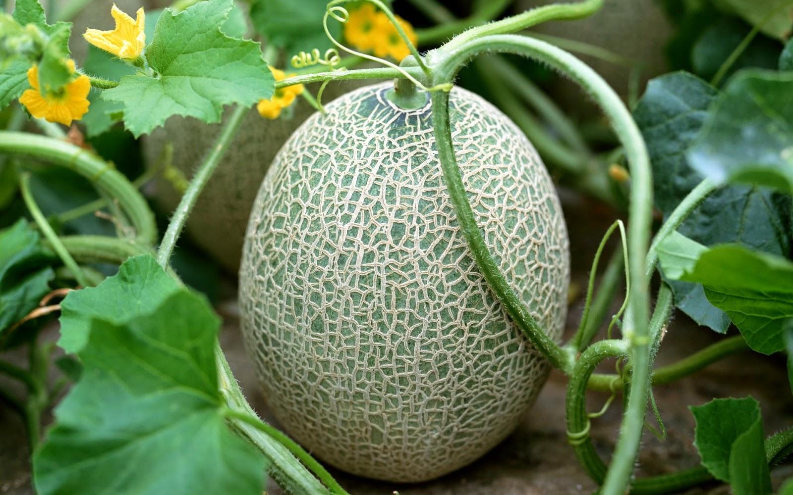 Дыня: выращивание, уход, заболевания