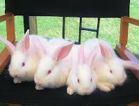 baby lab rabbits