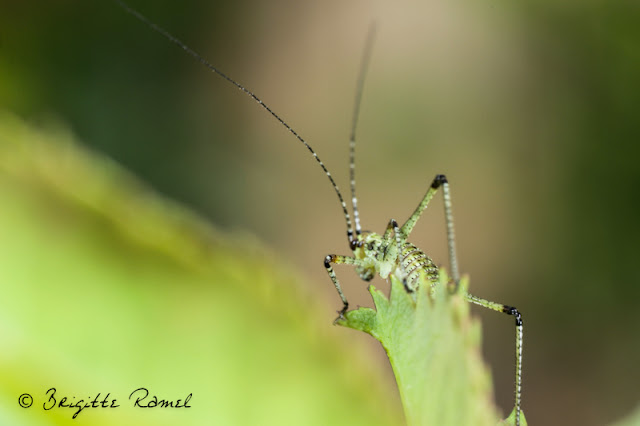 larve de phaneroptera, orthoptere, sauterelle