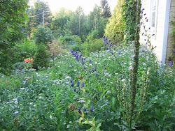 Loppukesän kukat syysasteri ja tiikerinlilja ovat jo alkaneet kukkia.