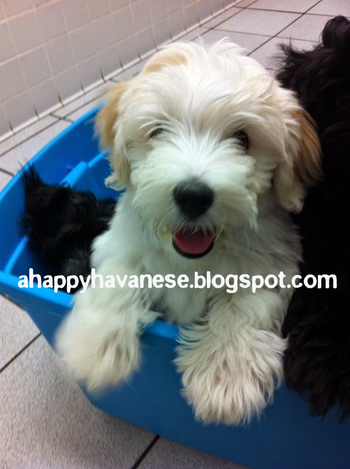 KiKi The Havanese Dog. A Happy Havanese Blog