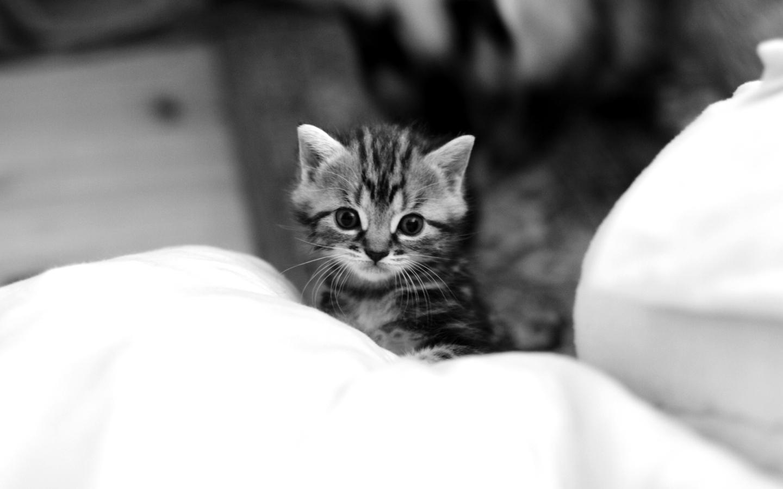 Adulte demain presque chaton - Enlever les puces sur un chaton ...