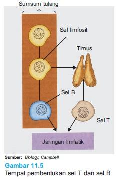 Tempat pembentukan sel T dan sel B