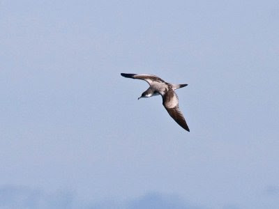 Oregon sea birds: Buller's Shearwater