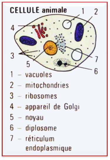 cellule animale.