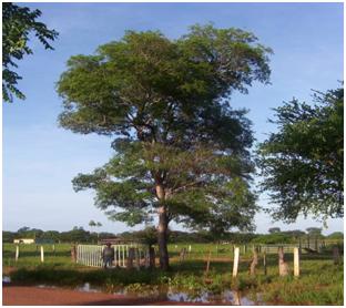 Picas forestales las plantas en los nombres de los for Plantas forestales