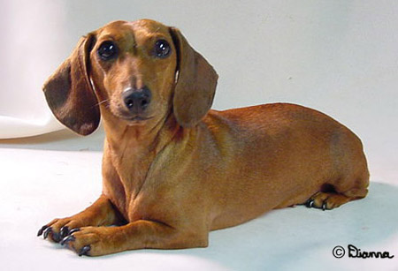 M And S Dachshund Dogs: Animal Planet,DO...