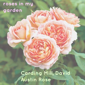 Carding Mill Rose