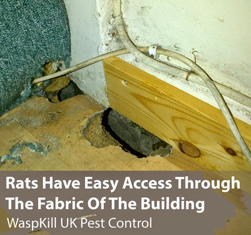 Rats in building fabric