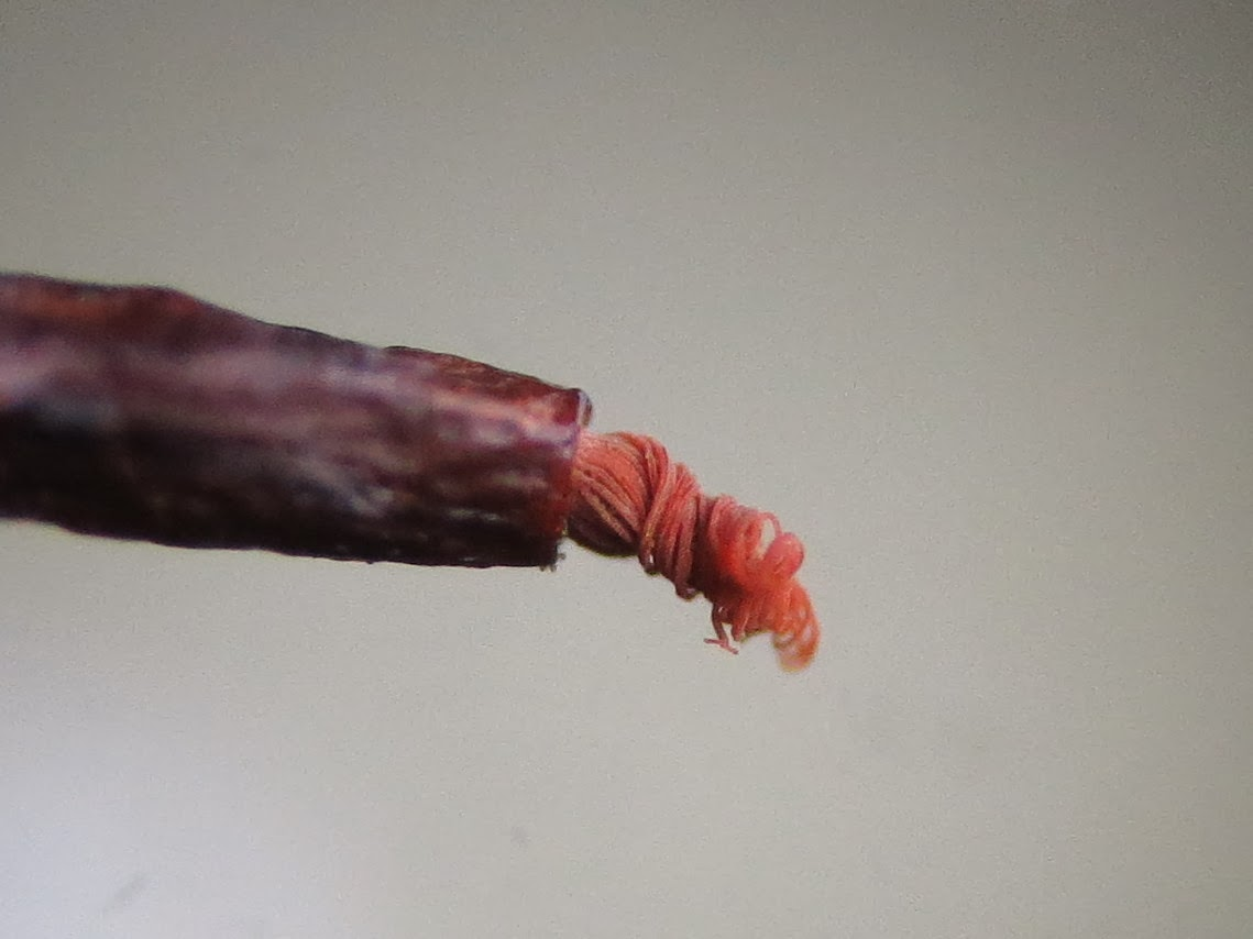 barbula unguiculata