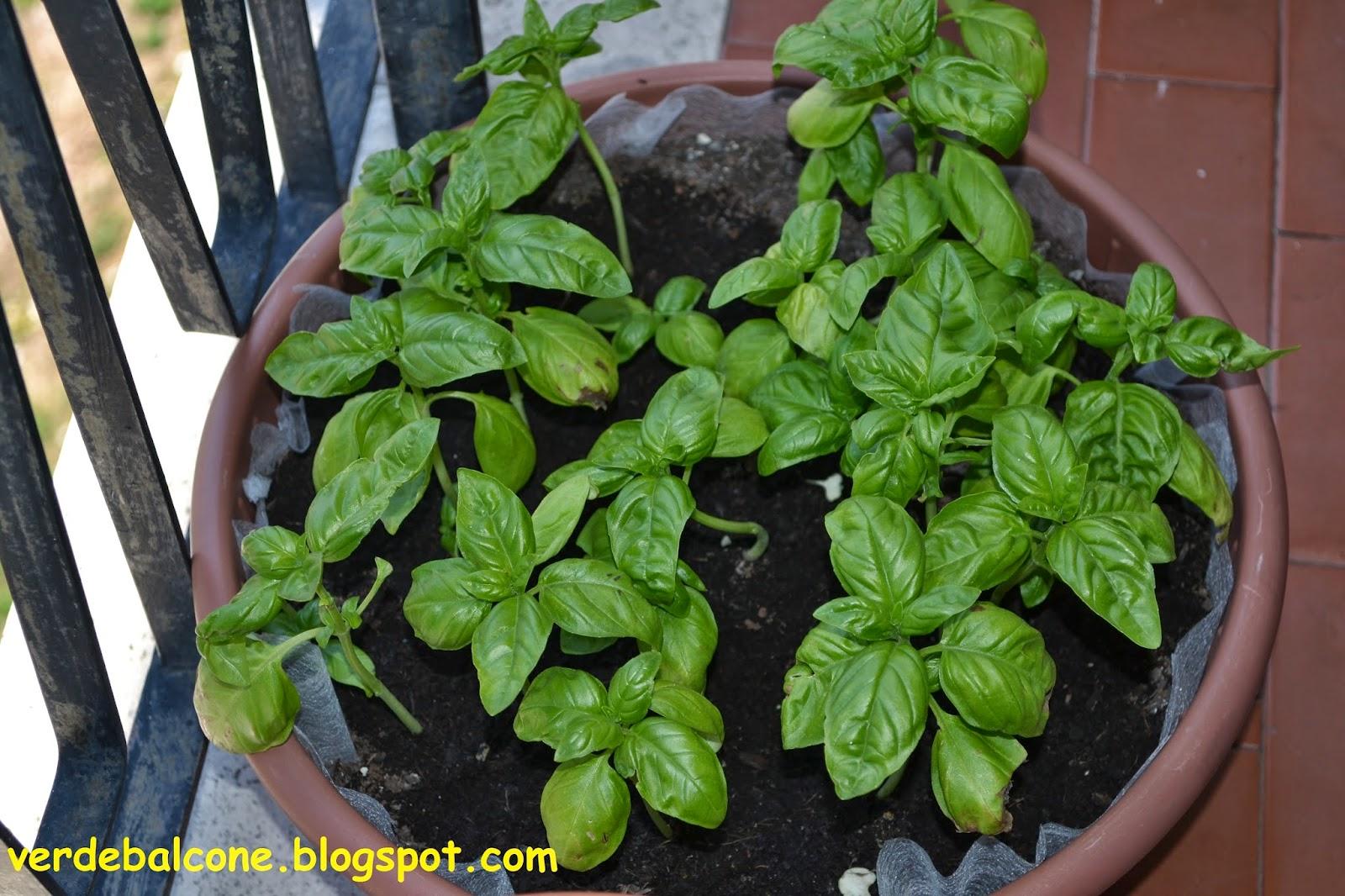 Verde balcone basilico scheda di riconoscimento e for Coltivazione basilico in vaso