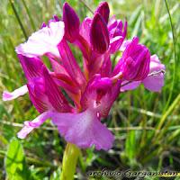 Garganistan Gargano Orchidee Anacamptis