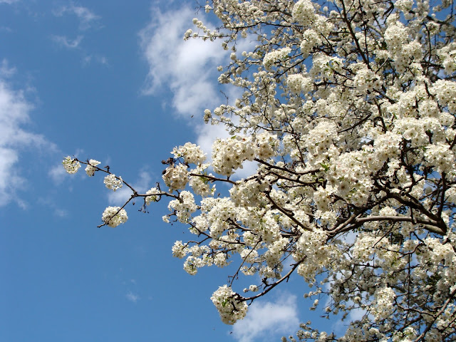 gorgeous white blossoms on giant tree