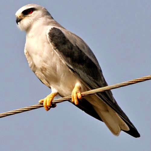 Indian birds - Image of Black-winged kite - Elanus caeruleus