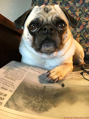 Liam the pug reading his New York Times