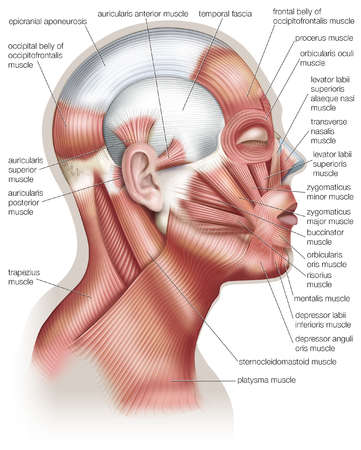 medical transcription: scalp and eyelid muscles, Human Body