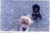 mes 2 autres caniches, Menddy (noir et beige)  et Gavroche
