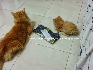 kucing gaya sama