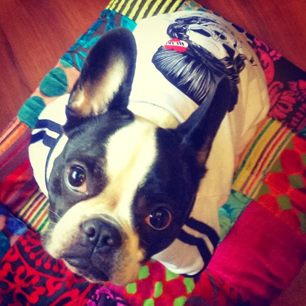 Bulldog Francês - Martina Bianco