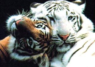 Tigre de Bengala - Panthera tigris tigris
