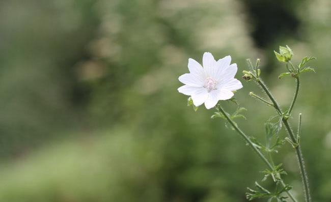 Musk Mallow Flowers