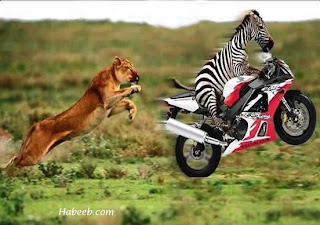 gambar gokil zebra