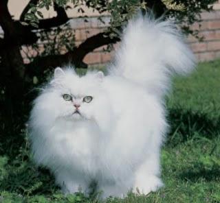 chinchillia cats kitten pussycat gato macska breeds picture animal pets