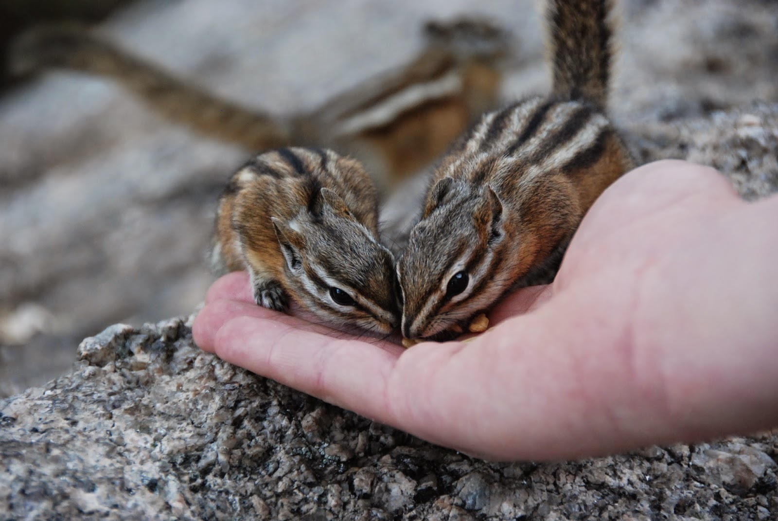 chipmunks, black hills, south dakota