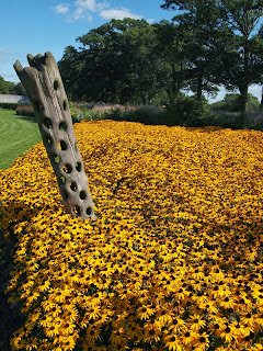 Sussex Prairies Garden. Amazing flowers and good example of garden design. Yellow Rudbeckia in block planting