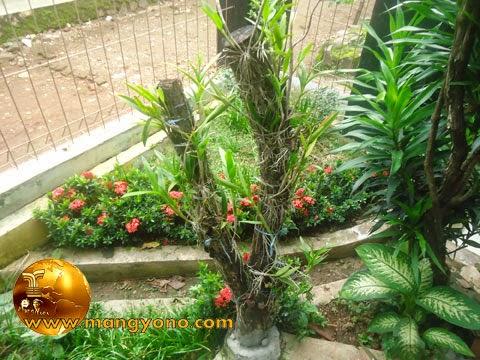Anggrek ditanam / ditempel pada pohon mati.