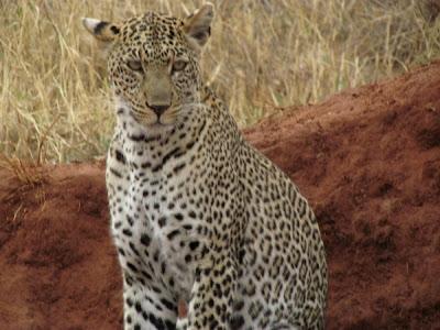 guepardo, guepard africa, guepardo africa, animales africa, kenya, africa, áfrica