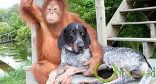 Orangutan & Anjing