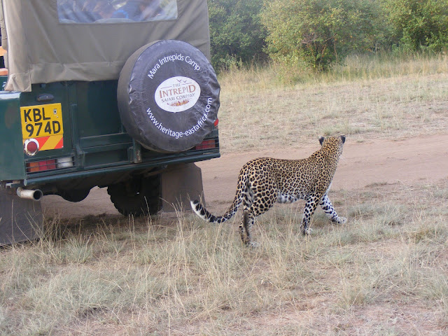 leopard, Kali, Maasai, Masai, Mara, Kenya, safari