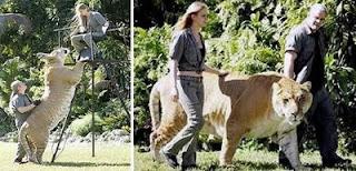 Singa terbesar di dunia