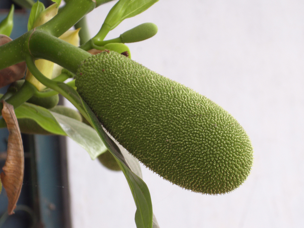 how to safely grow a jakfruit tree