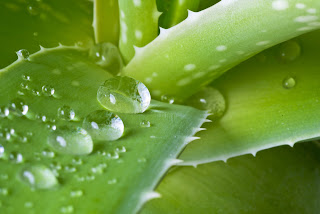Pure aloe vera helps cool and moisturize inflamed skin.