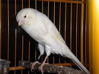 Burung Kenari - Solusi Penangkaran Burung Kenari -  Kode Ring Kenari Import Pada Negara Denmark