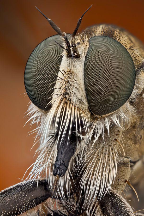 Macro, mosquito, ojo