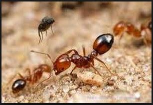 Semut Api dan Gigitannya