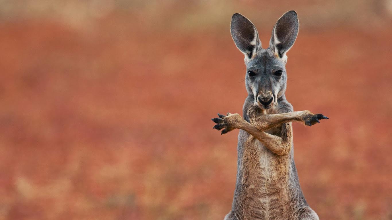 A red kangaroo in the Sturt Stony Desert, Australia (© Jami Tarris/Corbis) 365
