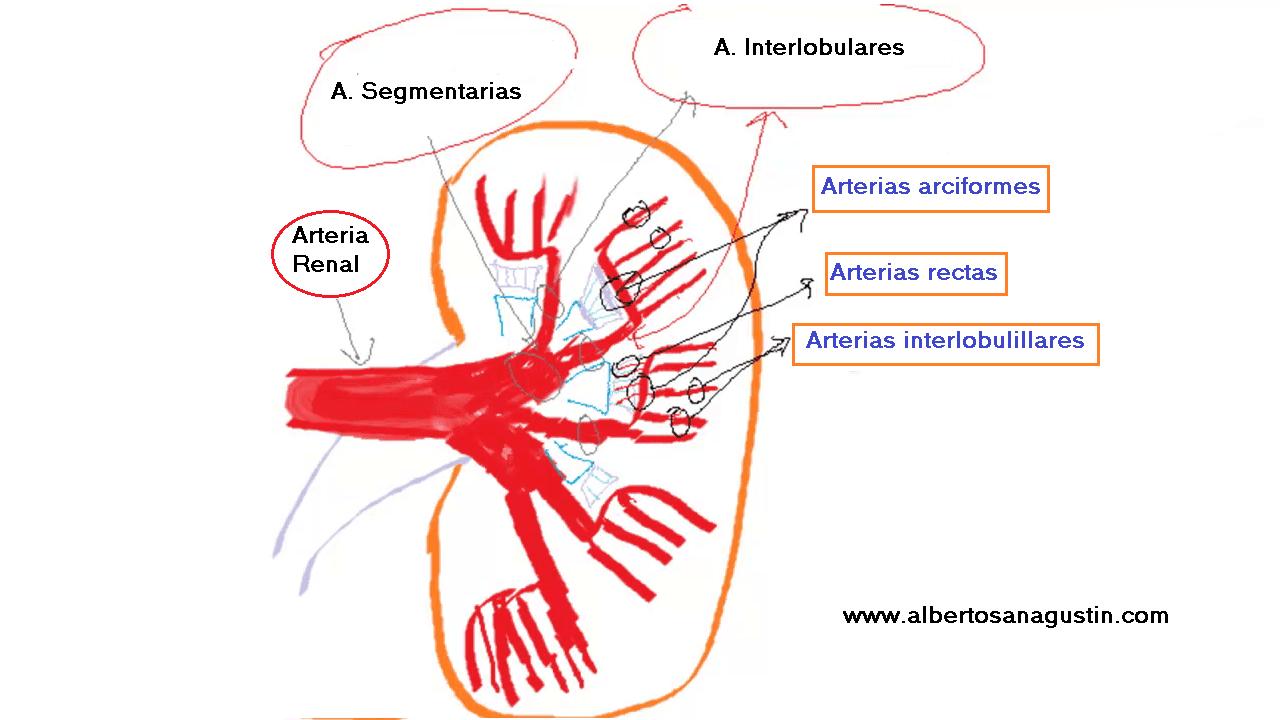 circulación renal