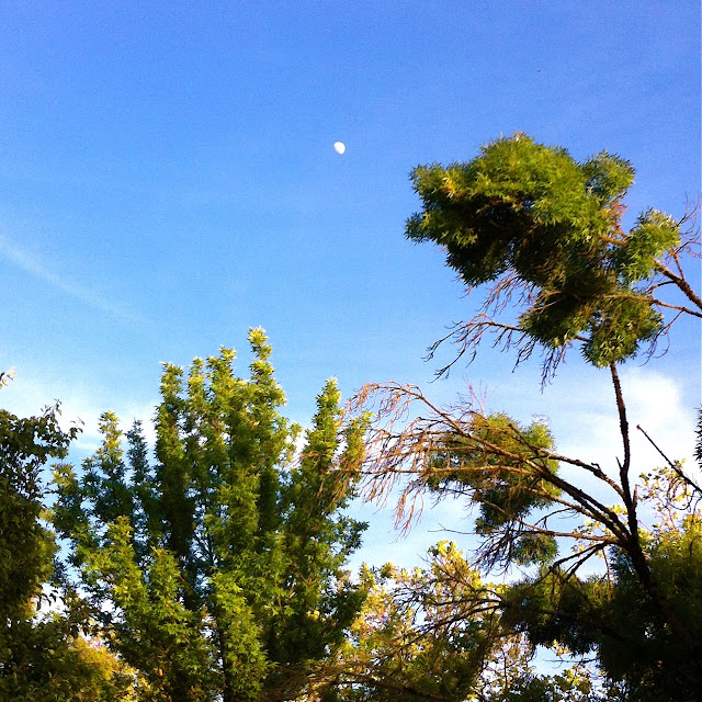 A Three Quarter Moon, moon, sky, trees, late spring moon, 3/4 moon, moon phase, blue sky moon, daytime moon