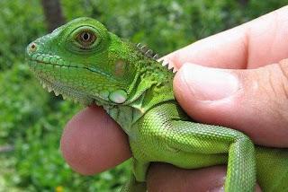 principales enfermedades de las iguanas