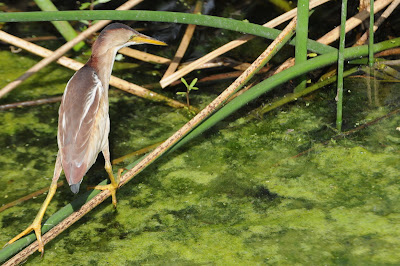 A Wandering Naturalist: Florida: The Breeding Season