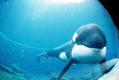 Islandia y la orca Willy Keiko