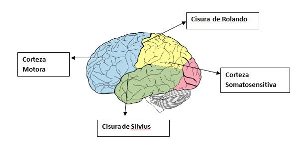 Función motora de la corteza y el tronco del encéfalo