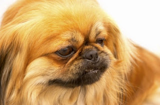 pekingese dog breed info pets animal domestic hound