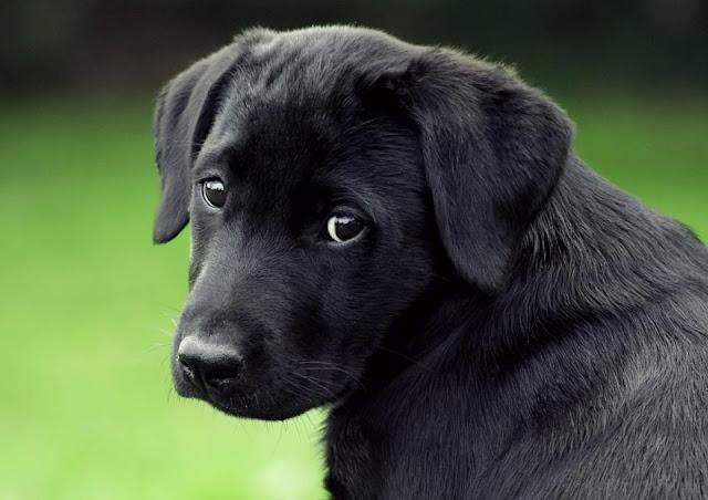 Dark black dog and with black eyes image