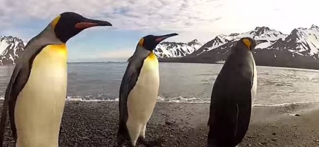 Have You Seen The Great Penguin Dance Off Yet?!! It's So Funny!